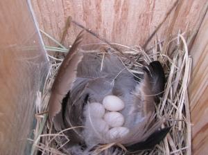 swallow eggs