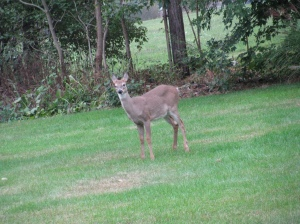 deer in our yard